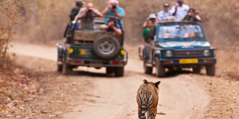 Tiger Sighting in Corbett Tiger Reserve