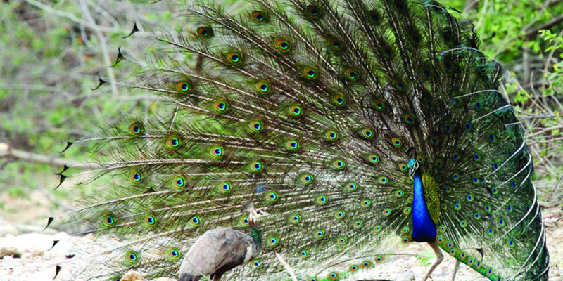 Peafowl in Jhirna zone of Jim Corbett Park